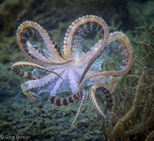 Mimic octopus in flight by Greg Duncan 